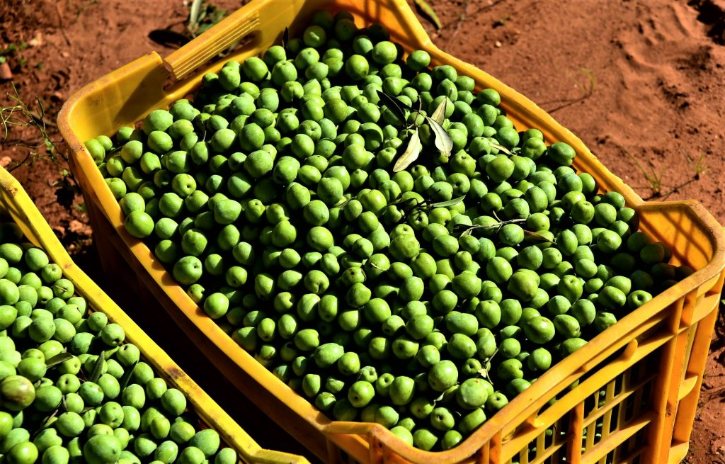 Sicilian Nocellara Olives
