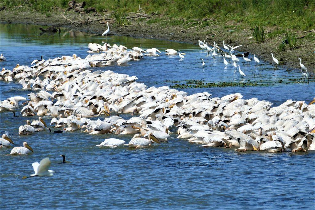Pelican colony in the Danube Delta, as the river runs into the Black Sea