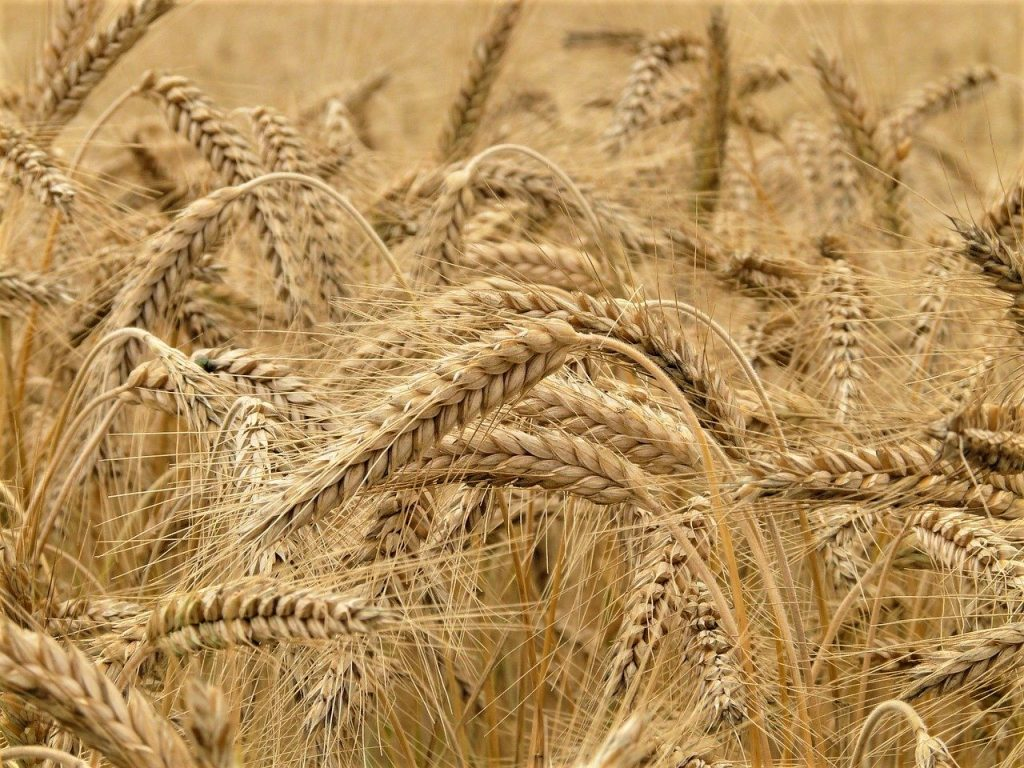 Rye field ancient grains flour