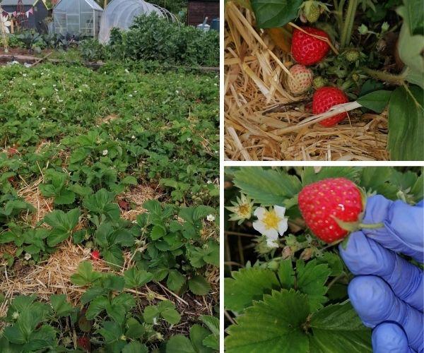 strawberry plot at my allotment