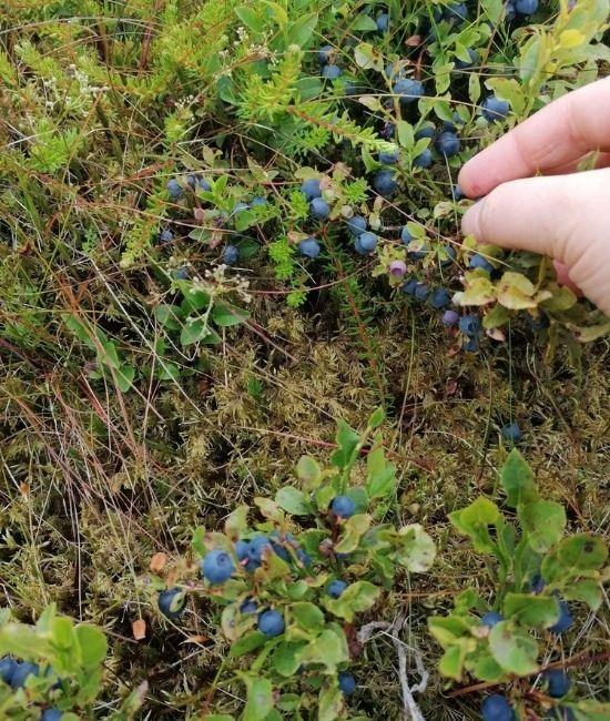The Scottish Borders wild blueberries